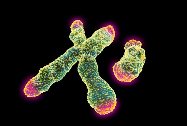 Telomeres (shown in red) protect the ends of chromosomes from fraying over time.